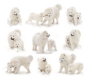 Samoyed dog and samoyed puppy. Play in snow Royalty Free Stock Images