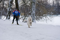 Samoyed Dog Skijoring Stock Images
