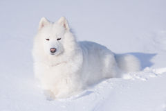 Samoyed dog on the snow Stock Images