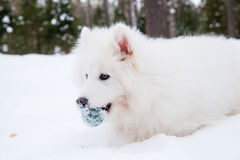 Samoyed dog on the snow Stock Photo