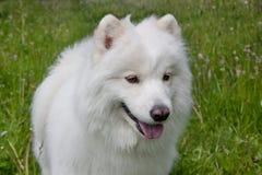 Samoyed dog is standing on a blossoming meadow. Samoiedskaya sobaka or nenetskaya laika. Stock Photo