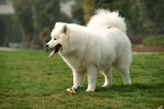Samoyed dog standing on grass lawn Stock Photography