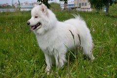 Samoyed dog is standing in the green grass. Samoiedskaya sobaka or nenetskaya laika. Royalty Free Stock Photo