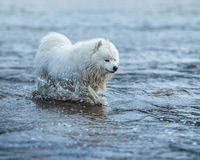 Samoyed dog wading through the water. Monochromatic summertime horizontal outdoors image Royalty Free Stock Photo