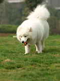 Samoyed dog walking on grass lawn Royalty Free Stock Photo