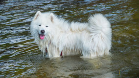 Samoyed dog in the water Stock Images