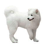 Samoyed dog  on white Royalty Free Stock Photos