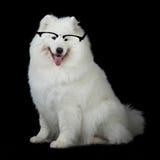 Samoyed dog  wiht glasses Stock Image