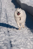 Samoyed Dog in winter Royalty Free Stock Images