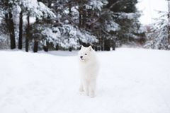 Samoyed dog in winter forest. portrait of a dog in the winter forest stock photos