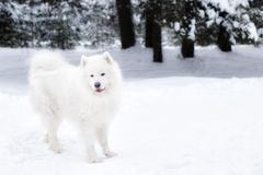Samoyed dog in winter forest. portrait of a dog in the winter forest royalty free stock photography