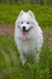 Samoyed dog in the wood Royalty Free Stock Photos