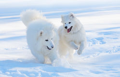 Samoyed dogs. Samoyed dog and puppy play Royalty Free Stock Photo