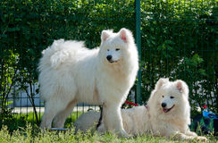 Samoyed dogs. Two white samoyed dogs on green grass Stock Photo