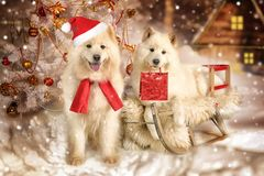 Samoyed dogs in Christmas interiors. Samoyed dog lying on a sledge with a gift package in his mouth under Christmas tree on a night winter background Royalty Free Stock Photos