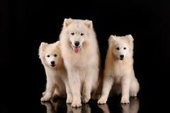 Samoyed dogs. Isolated on black background Stock Photo