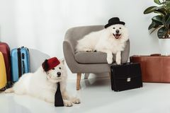 Samoyed dogs with suitcases Stock Photography
