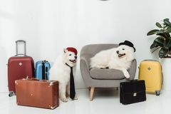 Samoyed dogs with suitcases Stock Photos