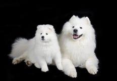 Samoyed dogs. Two Samoyed dogs (isolated on a black background Royalty Free Stock Photo