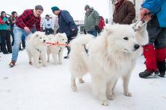 Samoyed dogsled Rennen Stockbild