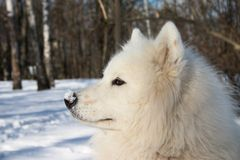 Samoyed dor in winter forest. Samoyed dor with snow on its nose Royalty Free Stock Photo