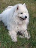 samoyed för hundgräsgreen Arkivfoton