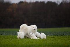 Samoyed förföljer Royaltyfria Foton