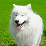 Samoyed förföljer Royaltyfri Fotografi