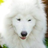 Samoyed förföljer Arkivfoto