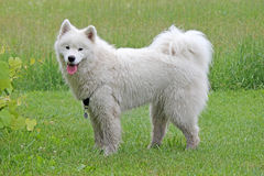 Samoyed in a Field Royalty Free Stock Photography