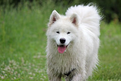 Samoyed in a Field Stock Image