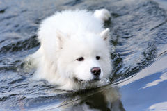 Samoyed floating Stock Photos