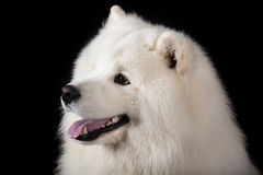 Samoyed förföljer Fotografering för Bildbyråer