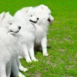Samoyed förföljer Royaltyfri Bild