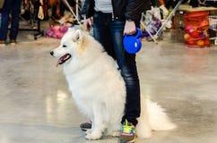 Samoyed förföljer Royaltyfria Bilder