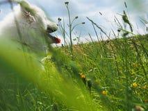 Samoyed het Ontspannen in de Weide Stock Foto's