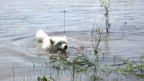 Samoyed het schor drijven in de rivier met een tak in zijn mond stock videobeelden