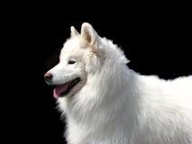 Samoyed-Hund Lizenzfreies Stockfoto