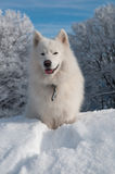 Samoyed-Hund im Winter Stockbild