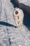 Samoyed-Hund im Winter Lizenzfreie Stockbilder
