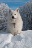 Samoyed-Hund im Winterwald Lizenzfreies Stockbild