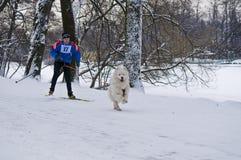 Samoyed-Hund Skijoring Stockbilder