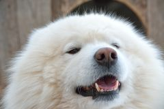 Samoyed husky dog Royalty Free Stock Photo