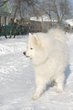 Samoyed husky running down the street covered with snow Royalty Free Stock Photography