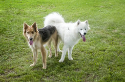 Samoyed & HuskyColley dogs Royalty Free Stock Photos