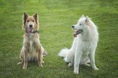 Samoyed- & HuskyColley hundkapplöpning Fotografering för Bildbyråer