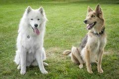 Samoyed- & HuskyColley hundkapplöpning Arkivfoto