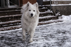 Samoyed jouant dans la neige Photo libre de droits