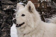 Samoyed jouant dans la neige Images libres de droits
