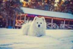 Samoyed Laika, Samoyed Pomeranian é uma raça do grande cão da reunião foto de stock royalty free